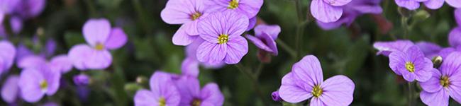 外壁塗装ラボの紫色の花の解説